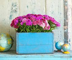 Sweet William container garden