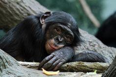bonobo looks sad! Baby Chimpanzee, Orangutan, Old Female Names, Cincinnati Zoo, Primates, Animal Kingdom, Habitats, Monkey, Creatures