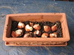 Wanna try planting some bulbs in containers since I didn't get it done outside. Getting Spring Fever!