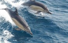 Recent video footage filmed off the coast of Falmouth shows a giant pod of dolphins playing in the water. Watch it for yourself here: