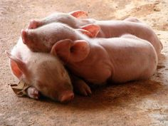 I want a baby pig!