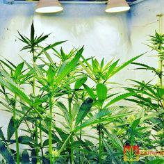 Some OGs at 25 days praying to the lights •  http://420dotcom.com/gorilla-glue-strain-gorilla-glue-seeds-gorilla-bubble-grow.html for my grow journal •  TAP LINK IN BIO •  #420 #ganja #weed #marijuana #cannabis #medicalmarijuana #mmj #ogkush #og #loud #dank #hydroponics #aeroponics #howtogrowweed #growingweed #420dotcom #closetgrow #howtogrowweedindoors #growyourown #growyourownmeds #pacificlightconcepts #greengenesgarden #growmau5
