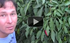10 Reasons Why You Should Grow More Peppers and Less Tomatoes in Your Garden  - http://www.offthegridnews.com/2014/04/15/10-reasons-why-you-should-grow-more-peppers-and-less-tomatoes-in-your-garden/