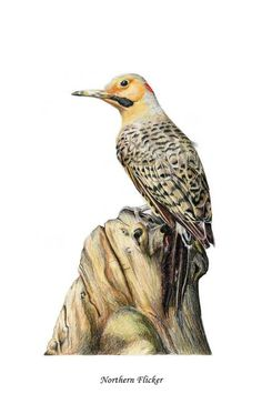 Image result for scientific illustrations of Northern Flicker