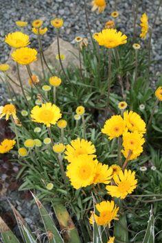 Stemless Four-Nerve Daisy for sale buy Hymenoxys acaulis