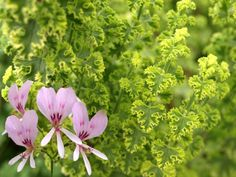 Species Pelargonium scented - Google Search