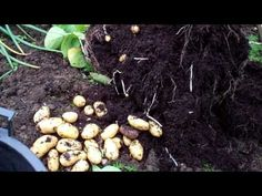 Allotment Dairy : Growing potatoes in containers,how to boost your yield to get a bumper crop - YouTube