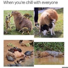 Capybara has lots of friends. Capybara doesn't let his friendships interfere with one another. Be like Capybara. Funny Animal Memes, Cute Funny Animals, Funny Animal Pictures, Cute Baby Animals, Funny Cute, Animals And Pets, Funny Memes, True Memes, Super Funny