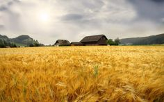 living in a lake of gold! 1920x1200 Wallpaper, Hd Wallpaper, Wallpapers, Fields Of Gold, Wheat Fields, Old Farm, Color Stories, Life Is Good, Country Roads