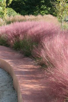 Oh I can't wait for our Pink Muhly Grass in the garden to be in bloom again.  So beautiful.