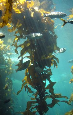 Brown algae seaweed replenishes the body with vitamins, minerals, fatty acids, protein and amino acids. | Bondi Beauty
