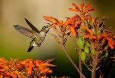 All sizes | Hummingbird 5 | Flickr - Photo Sharing!
