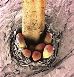eyelash with mites living in follicle