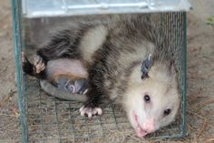 A Possum with her babies<3 (Marsupial ~ where the Mama carries her babies around in her pouch) caught in our live trap Tammy Taylor-Kosiba's Photography 2012