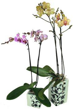 Consejos de cuidado para las orquídeas Phalaenopsis