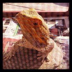 Frankie in his outdoor viv!