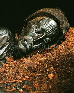 "Mummified head of Tollund Man, a ""bog body"" dated BC. Leather Cap, Braided Leather, Tollund Man, Bog Body, Iron Age, Copenhagen Denmark, Lion Sculpture, Museum, 40 Years"