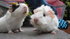 The Guinea Pig Daily: Patch and Frazz