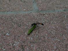 Sandwespen beim Raupenschleppen – Videos – Hortus Girasole Videos, Wasp
