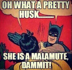 Diva The Alaskan Malamute