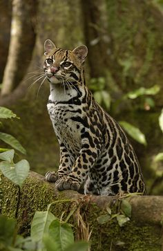 ^Ocelot Leopardus Pardalis Standing - You can almost feel the texture of his coat