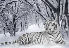 This White Siberian Tiger is beautiful!