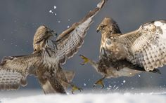 Two Common buzzards (Buteo buteo) attacking each other in snow, in the Kiskunság National Park