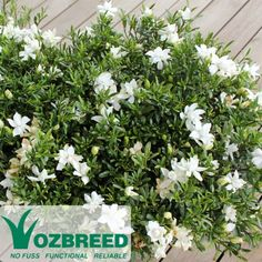 Gardenia augusta O SO FINE™. Low growing variety. 30cm height, 1m wide. Full sun to part shade.