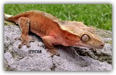 Male crested gecko Owned by Sierra Mason Coe