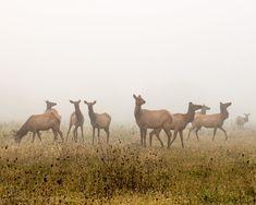 Elk Herd on Foggy Morning Print Cow Elk, Elk Pictures, Isaiah 26 3, Wall Art Prints, Canvas Prints, Sparks Joy, Perfect Peace, Foggy Morning, Elk Hunting
