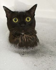 A cat taking a bubble bath and he says what the hell is your problem?