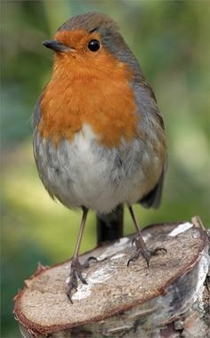 Erithacus rubecula melophilus (British Robin) photographed in Merrion Square, Dublin, Ireland by 'David Jordan.' (Differs only slightly from Continental birds.)