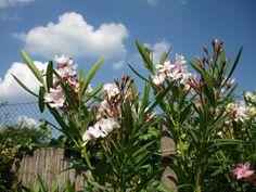 Kertbarát, akinél a kerítés is leanderből van – Balkonada Van, Plants, Plant, Vans, Planets, Vans Outfit