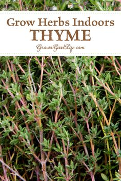Herbs Gardening Growing Thyme Indoors: The intense flavor of Thyme complements most meats, including chicken, beef, pork, and game. This culinary herb is easy to grow as a houseplant. Growing Gardens, Growing Herbs, Organic Gardening, Gardening Tips, Indoor Gardening, Vegetable Gardening, Kitchen Gardening, Container Gardening, Thyme Plant