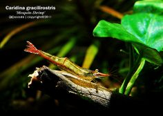 Pinokio shrimp | Flickr - Photo Sharing!