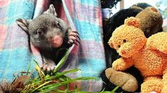 With a face that is guaranteed to explode your heart. Caddy has been taken in by a rescue organization in Australia after her mom was killed by a car. She will go to live with other young wombats and eventually be released back to the wild.