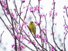 Female American goldfinch amidst Redbud tree blossoms in my backyard. Flight Feathers, Goldfinch, Photo Contest, Blossoms, Backyard, Bird, Female, Country, American