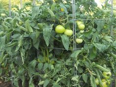 tomates en cage Culture Tomate, Image Categories, Country Farm, Gardening For Beginners, Permaculture, Horticulture, Farm Life, Houseplants, Outdoor Gardens