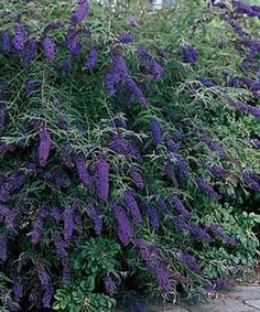 Buddleia Butterfly Bush. Very fragrant and gets quite large (6-8 ft high). Great to have near a garden because it attracts bees and butterflies.