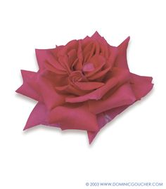 WENDY CUSSONS (Hybrid Tea) Outstanding perfume, rose red blooms, bushy habit, to 90cm