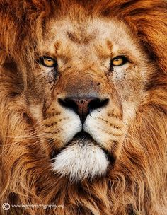 A true King by bigcatphotos UK on 500px