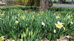 Daffodils at Lanier