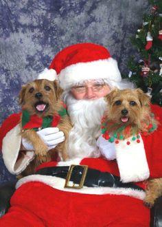 Norfolk Terrier breed ...