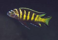 Pseudotropheus chailosi