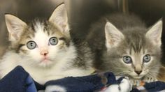 ADOPTED>Intake: 6/22 Available: 6/28 NAME: Bubblicious & Bubbleyum  ANIMAL ID: 28191299-1288 BREED: DSH  SEX: Male & Female  EST. AGE: 6 weeks  Est Weight: 1.4-1.7 lbs  Health:  Temperament: Friendly  ADDITIONAL INFO:  RESCUE PULL FEE: FREE!!