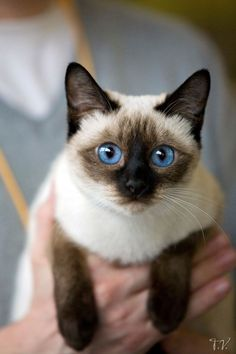 Siamese - so beautiful. Her father was Siamese and the mother Burmese. The Siamese & Burmese Breed is called 'Tonkinese'. My Tonkinese is now ~ Siamese Kittens, Cute Cats And Kittens, I Love Cats, Crazy Cats, Cool Cats, Kittens Cutest, Tabby Cats, Pretty Cats, Beautiful Cats