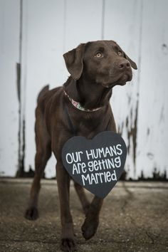 "beautiful Chocolate Lab mix wearing Save the Date sign, ""Our Humans Are Getting Married"" #savethedate #Labmix ©️Keane Eye Photography"
