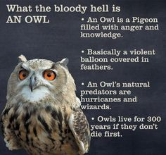 What the bloody hell is AN OWL e An Owl is a Pigeon filled with anger and knowledge. e Basically a violent balloon covered in feathers. An Owls natural predators are urricanes and wizards Owls live for 300 years if they dont die Owl Facts, Animal Facts, Animal Memes, Facts About Owls, Funny Owls, Funny Animals, Adorable Animals, The More You Know, Look At You