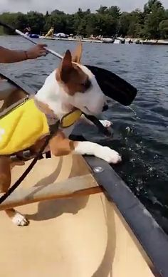 Moose at sea! First moosie adventures! Mini Bull Terriers, Miniature Bull Terrier, English Bull Terriers, Bull Terrier Dog, Cute Puppies, Cute Dogs, Terrier Breeds, Bully Dog, Dogs Of The World