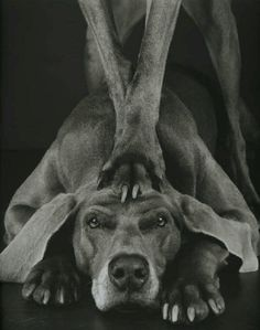 © William Wegman, Photos from William Wegman is an artist best known for creating series of compositions involving dogs, primarily his own Weimaraners in various costumes and poses. I Love Dogs, All Dogs, Best Dogs, Dogs And Puppies, Doggies, William Wegman, Weimaraner, Vizsla, Funny Animals